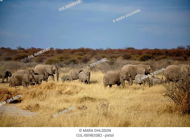 Herd of adult and juvenile elephants walking in arid plain, Namibia, Africa