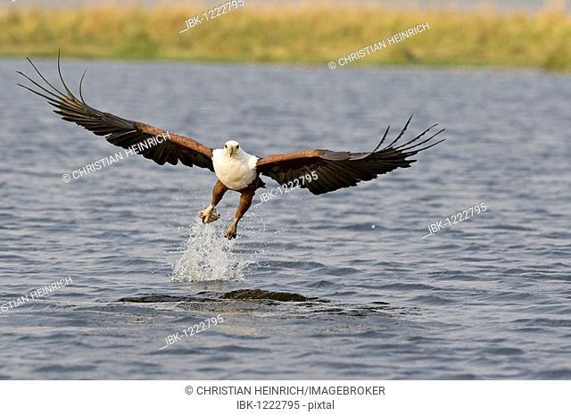 African Fish Eagle (Haliaeetus vocifer), searching for prey, fish, Chobe National Park, Botswana, Africa