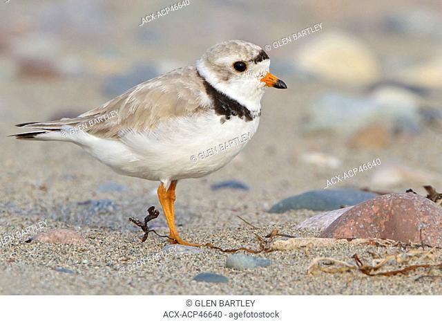 Piping Plover Charadrius melodus feeding along the shoreline of Newfoundland, Canada