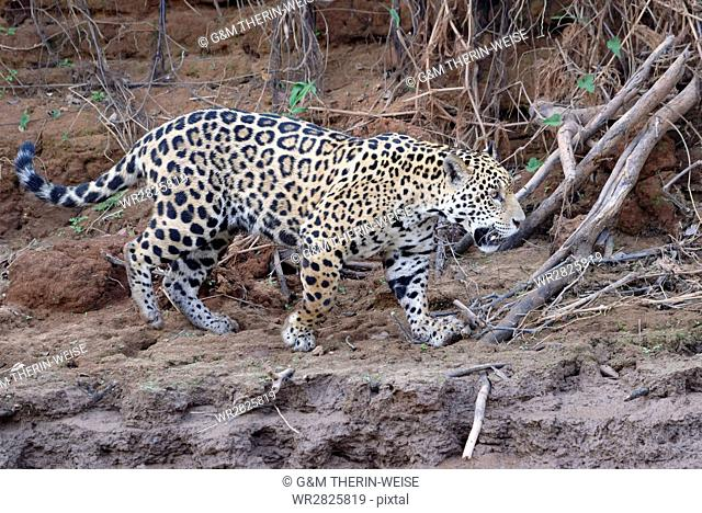 Young Jaguar (Panthera onca) walking on a riverbank, Cuiaba River, Pantanal, Mato Grosso, Brazil, South America