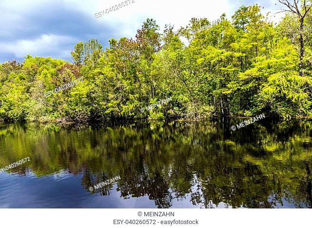 undergrowth and roots of green Mangrove trees In the Everglades National Park