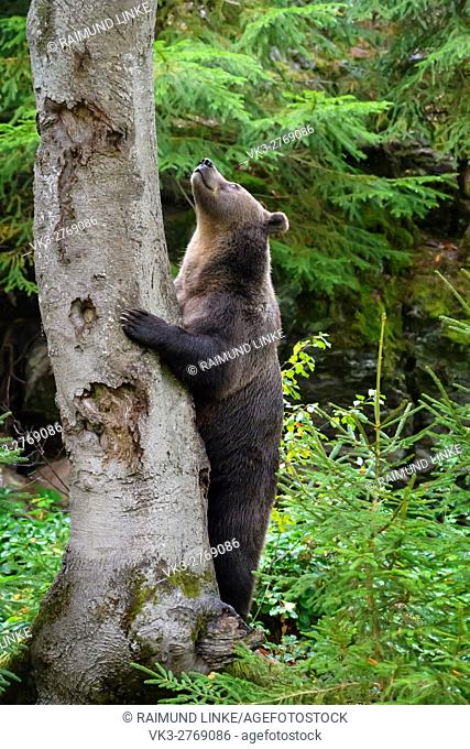 Brown Bear, Ursus arctos, Stands at the tree, Bavaria, Germany
