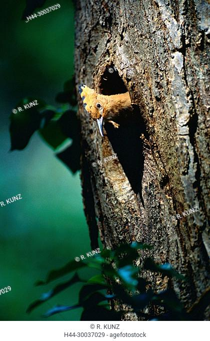 Eurasian Hoopoe, Upupua epops, Upupidae, Hoopoe, nestling, breeding burrow, bird, animal, Semione, Bleniotal, Canton of Ticino, Switzerland