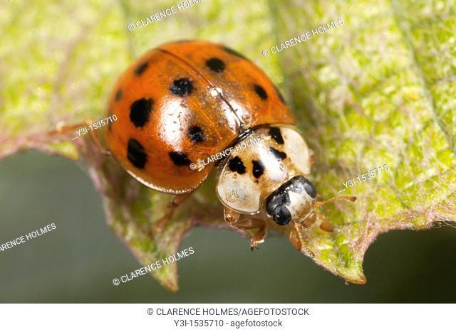 Multicolored Asian Lady Beetle Harmonia axyridis, Ward Pound Ridge Reservation, Cross River, Westchester County, New York, USA