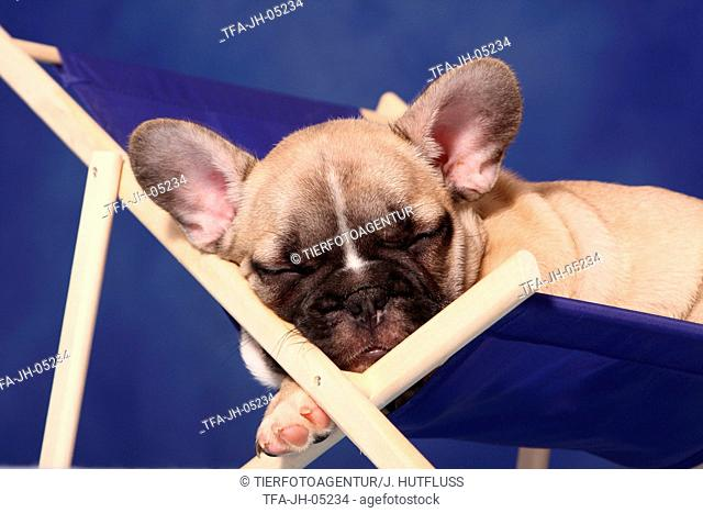French Bull puppy at deckchair