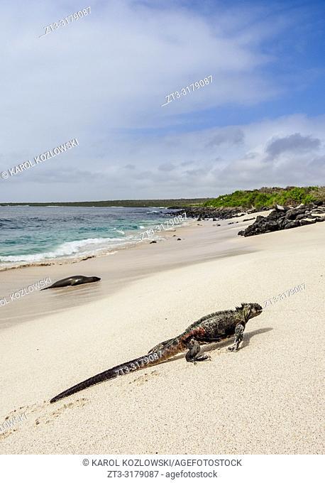 Marine iguana (Amblyrhynchus cristatus) on a beach at Punta Suarez, Espanola or Hood Island, Galapagos, Ecuador