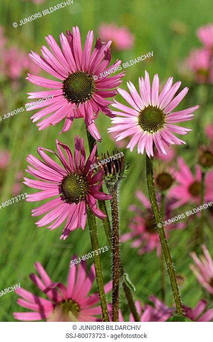 DEU, 2008: Tennessee Purple Coneflower (Echinacea tennesseensis), flowering