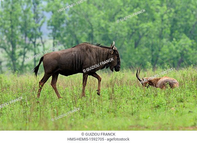 Swaziland, Hhohho district, Ezulwini valley (valley of Heaven), Mlilwane Wildlife Sanctuary, wildebeest