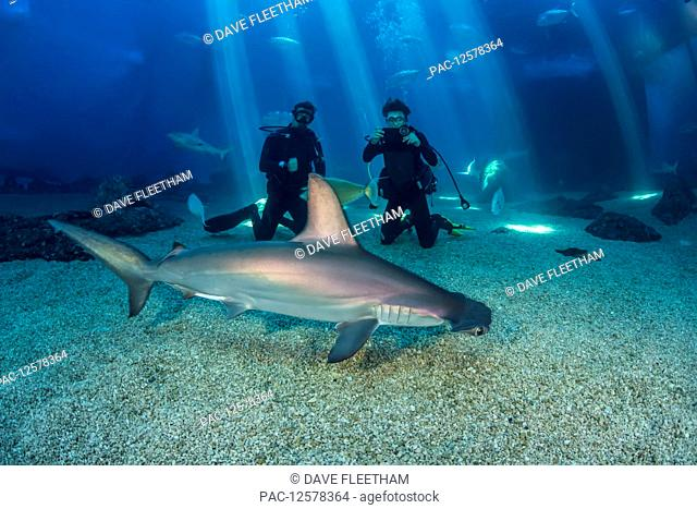 Two divers get a close look at a Scalloped hammerhead shark (Sphyrna lewini) along with many other species in their big tank at the Maui Ocean Centre; Maui