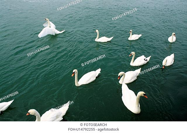 Flock of white swans on the water at Folkestone in Kent