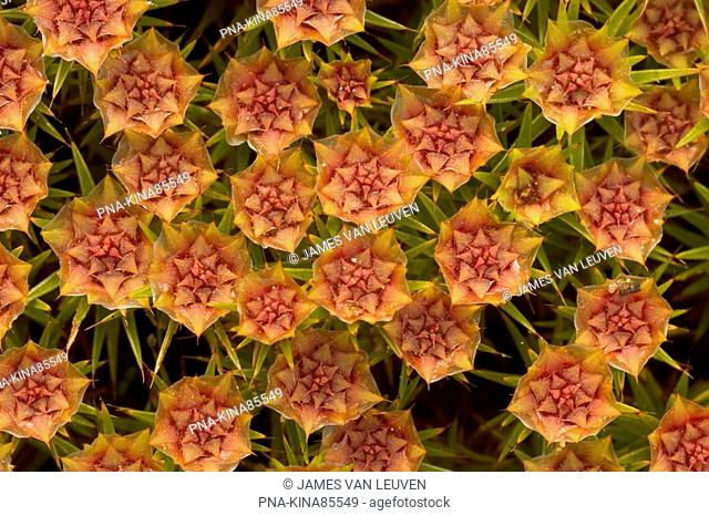 Bristly Haircap Polytrichum piliferum - Kampina, Banisveld, North Brabant, The Netherlands, Holland, Europe