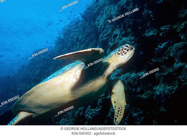 Green turtle (Chelonia mydas) swimming. Malaysia