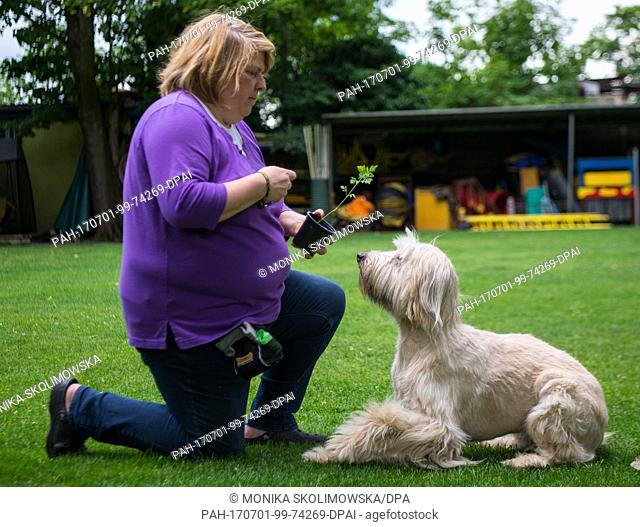 """The dog Arwen sniffs the ground, searching for Ambrosia plants with the aid of her teacher Katja Krauss at the dog school """"""""Greh""""""""in Berlin, Germany"""