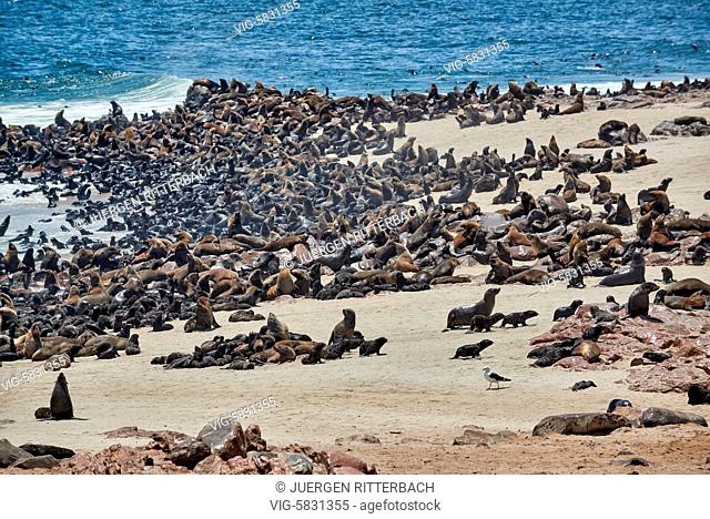 colony of Brown fur seals, Arctocephalus pusillus, Cape Cross on the Skeleton Coast of Namibia, Africa - Skeleton Coast, Namibia, 28/02/2017