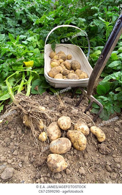 Harvesting home grown potatoes