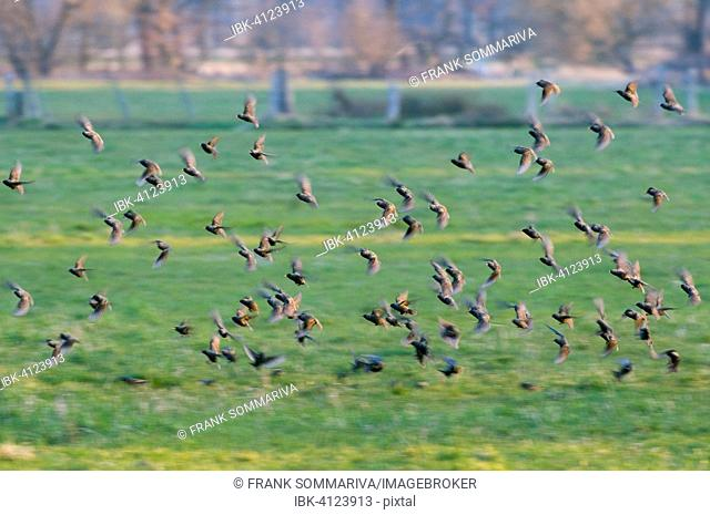 Common Starlings (Sturnus vulgaris), flock flying over a meadow, Thuringia, Germany
