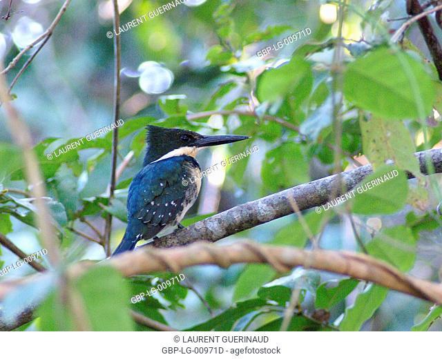 Martin-pescador-pequeno, macho, Green Kingfisher, Chloroceryle americana, Pantanal, Mato Grosso do Sul, Brazil
