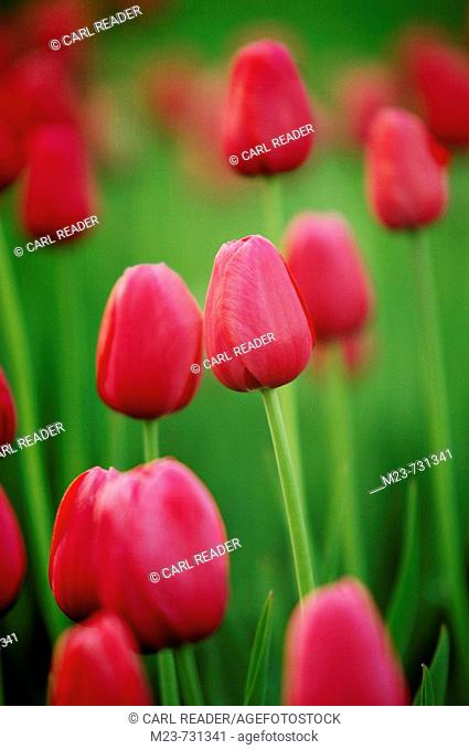 Red tulips rest before evening, Pennsylvania, USA