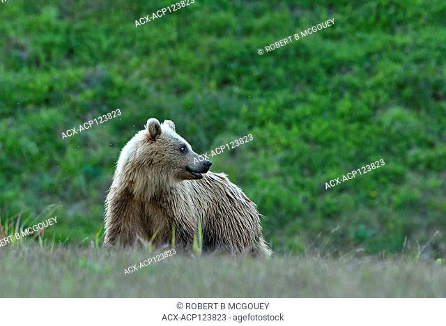 A light colored juvenile grizzly bear (Ursus arctos); standing looking back over his shoulder in rural Alberta Canada