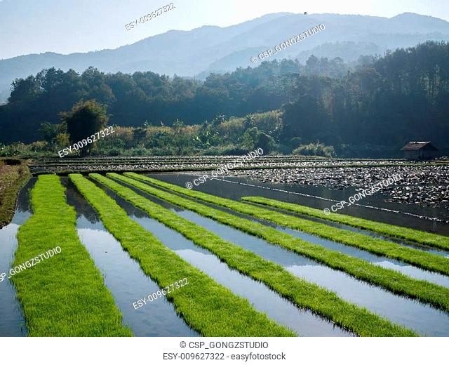 Rice field with mountain background
