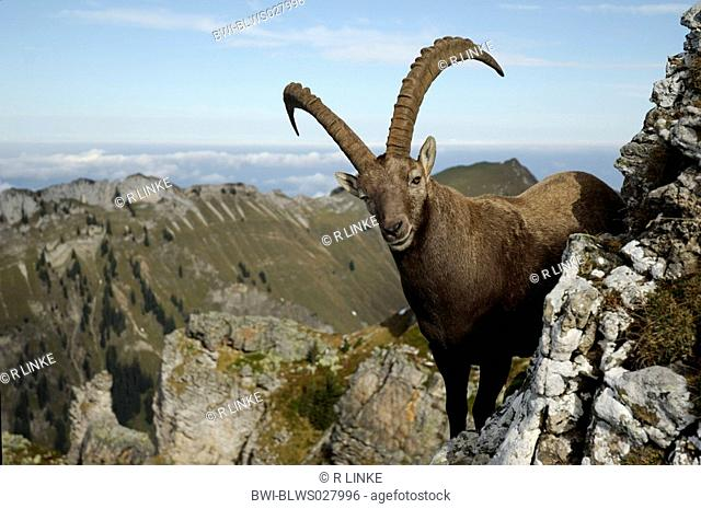 alpine ibex Capra ibex, alpine index stands on rock spur, Switzerland