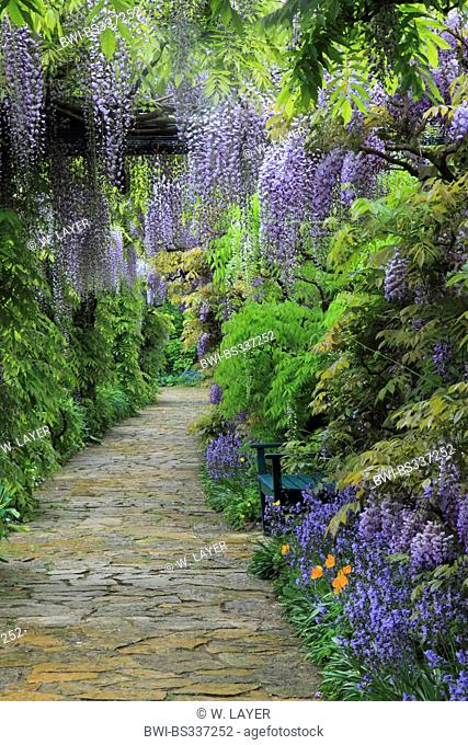 Chinese wisteria (Wisteria sinensis), garden path framed with Chinese wisteria, Germany
