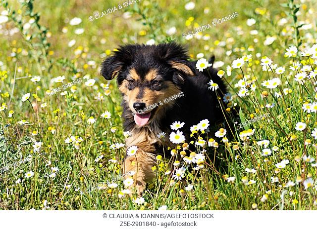Puppy walking in a flower field