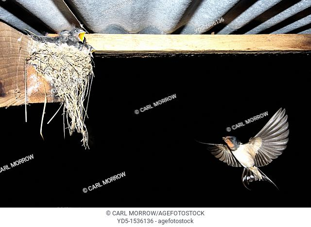 Barn Swallow Hirundo rustica returning to the nest with food for chicks