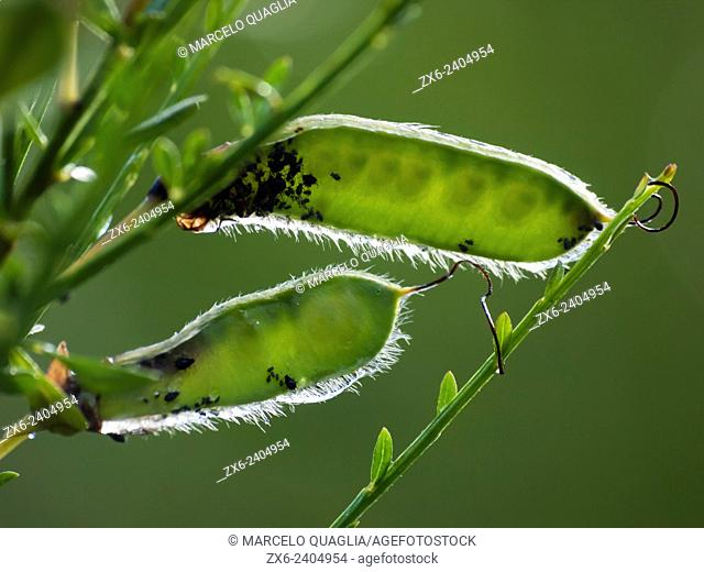 Young Genista beans (Cytisus scoparius) infested by aphids. Montseny Natural Park. Barcelona province, Catalonia, Spain