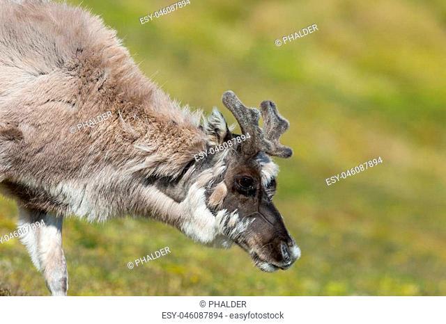 reindeer (rangifer tarandus platyrhynchus), green grassland
