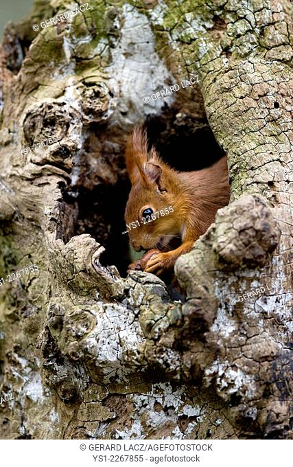 Red Squirrel, sciurus vulgaris, Eating Hazelnut at Nest Entrance, Normandy