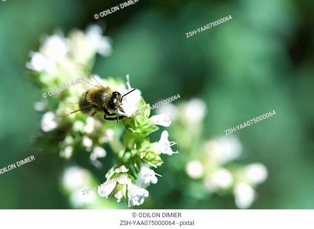 European Dark bee apis mellifera mellifera gathering pollen from white flowers