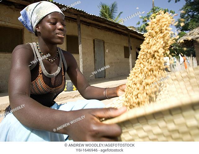 Young woman uses traditional basket to winnow and clean brown husk rice Berending village The Gambia