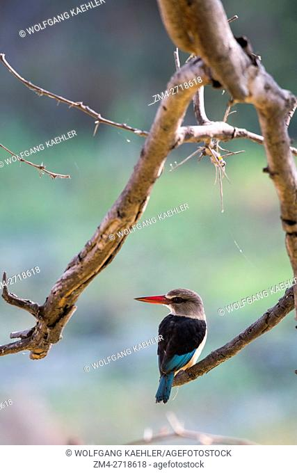A Brown-hooded Kingfisher (Halcyon albiventris) is sitting on a branch of a tree along the Shire River in Liwonde National Park, Malawi