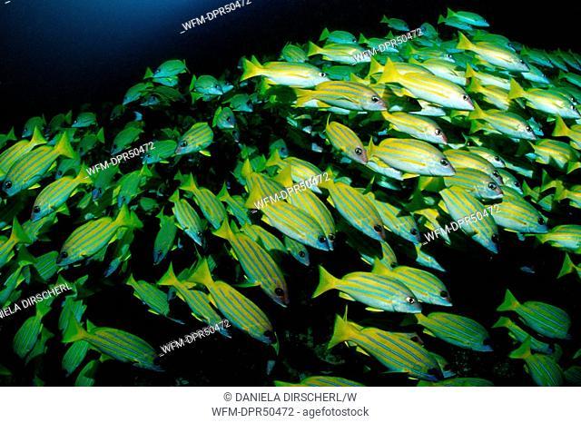 Schooling Bluestripe Snapper, Lutjanus kasmira, Ellaidhoo House Reef, Ari Atoll, Maldives