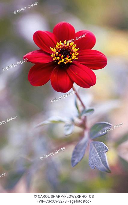 Dahlia 'Bishop of Auckland', single red flower showing yellow stamen and dark purple leaves
