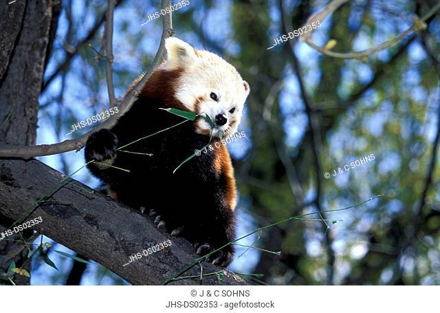 Red Panda,Ailurus fulgens fulgens,China,Asia,adult on tree feeding on bamboo