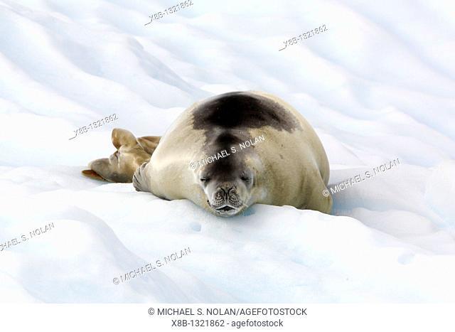 Adult crabeater seal Lobodon carcinophaga hauled out on an ice floe near Petermann Island near the Antarctic Peninsula