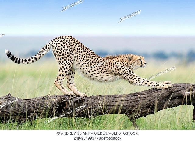 Cheetah (Acinonix jubatus) stretching on fallen tree, Maasai Mara National Reserve, Kenya