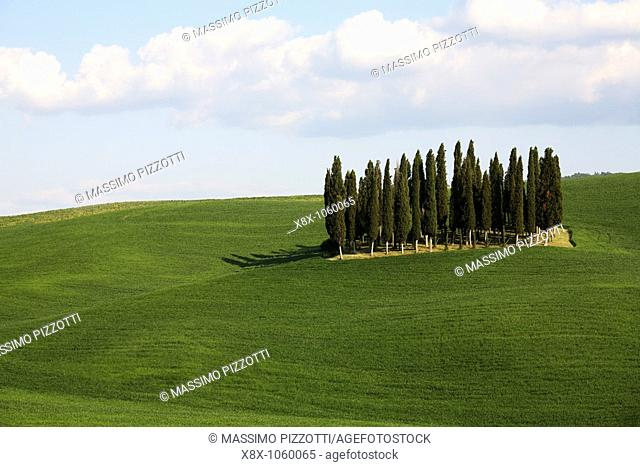 Grove of Cypresses in Val d'Orcia, Tuscany, Italy