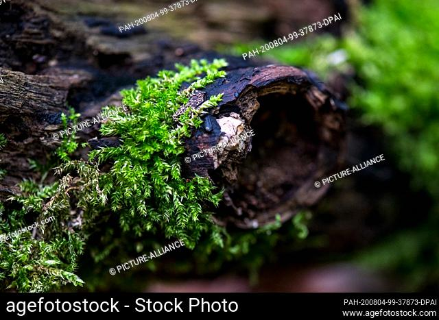 04 August 2020, Saxony, Leipzig: A branch overgrown with moss lies in the forest near the river Nahle. The region in the northern Leipzig floodplain forest is...