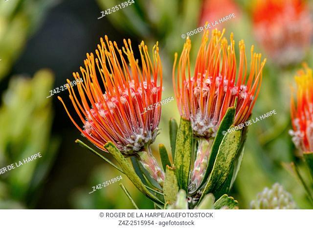 Oranjevlam or Orange Flame (Leucospermum erubescens). Kirstenbosch Gardens. Cape Town. Western Cape. South Africa
