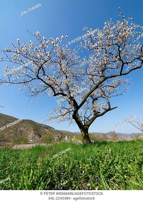 apricot blossom in Wachau, Austria, Lower Austria, Wachau