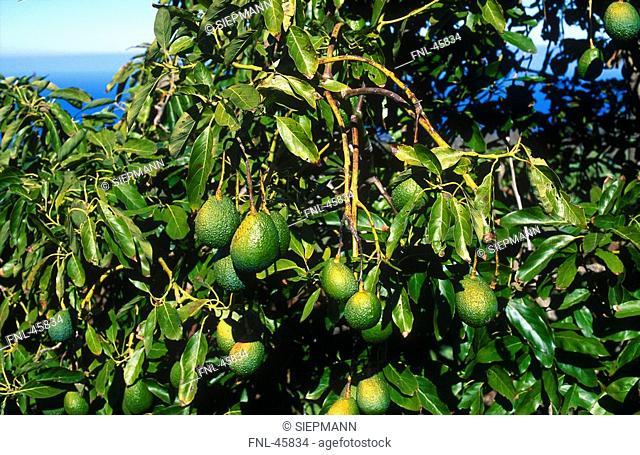 Close-up of avocado tree, La Palma, Canary Islands, Spain