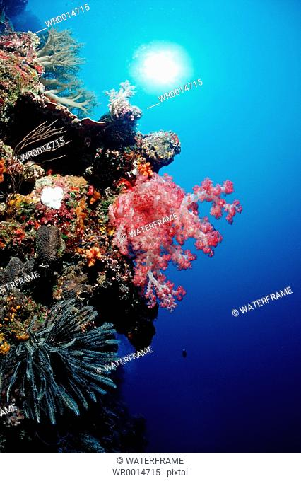 Red Soft Coral in coral Reef, Dendronephthya spec., Pacific, Micronesia, Palau