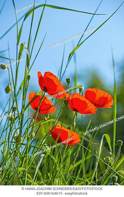 Poppy, group of flowers with grass and blue sky