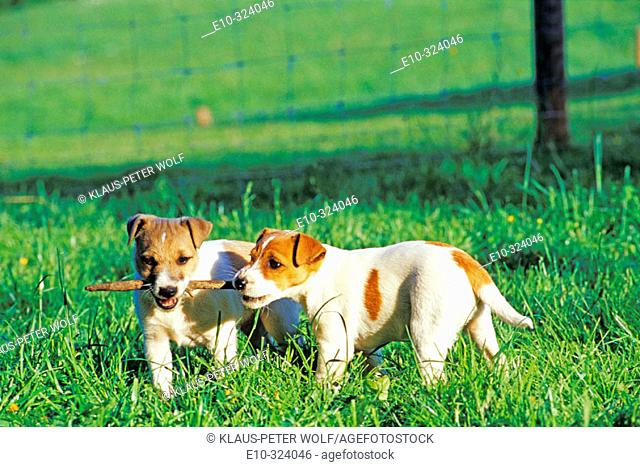 Jack Russell terrier whelps