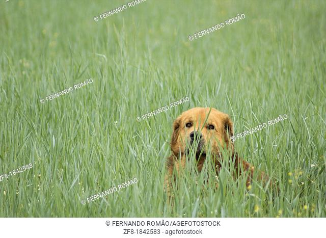 Dog on field, at Guarda, Portugal