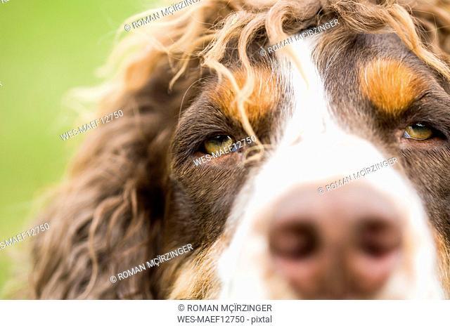 English Springer Spaniel, close-up
