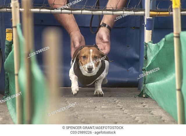 Held by his owner, a dachshund dog prepares to run a race at an Oktoberfest gathering at German ethnic Old World Village in Huntington Beach, CA